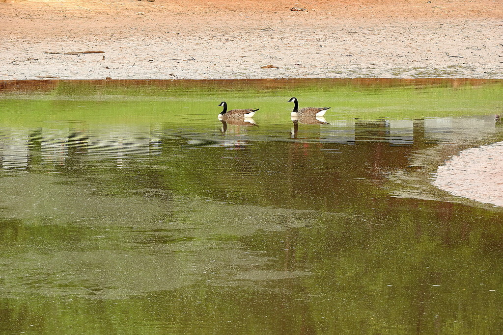 Goose Puddle! by homeschoolmom