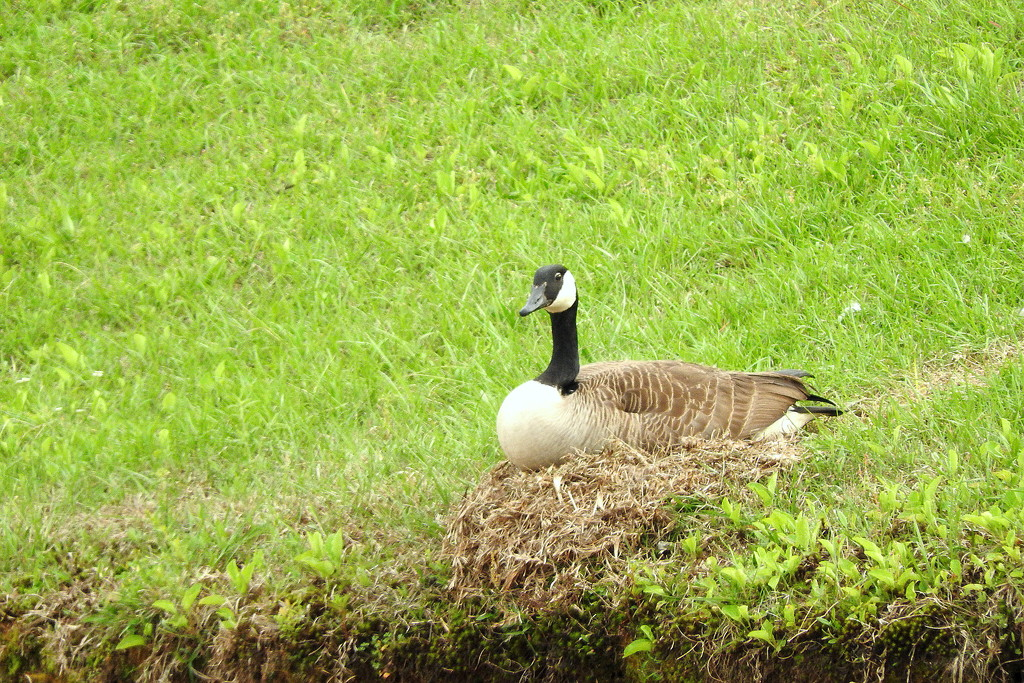 Mother Goose is Canadian? by homeschoolmom