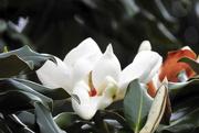 28th Apr 2017 - Magnificent Magnolias