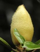 29th Apr 2017 - Fuzzy Wuzzy was a magnolia blossom!