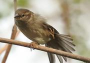 28th Apr 2017 - doing my sparrow dance