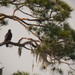 Eagles in the Pine! by rickster549