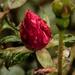 Raindrops are Like Teardrops - but Prettier by milaniet