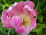 22nd Apr 2017 - Tulip...