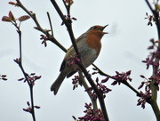 29th Apr 2017 - This little Robin was singing away up in the tree top.