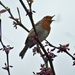 This little Robin was singing away up in the tree top. by snowy