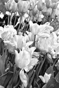 28th Apr 2017 - In the Tulip Field