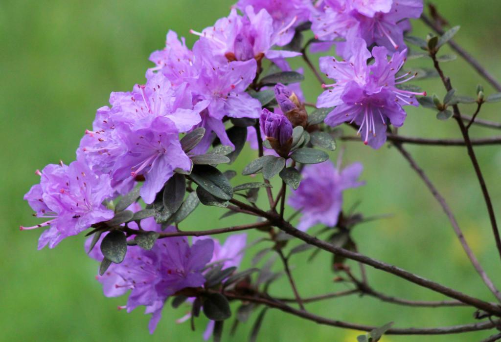 Flowers on small azalea bush by mittens
