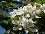 24th Apr 2017 - Apple blossom .....