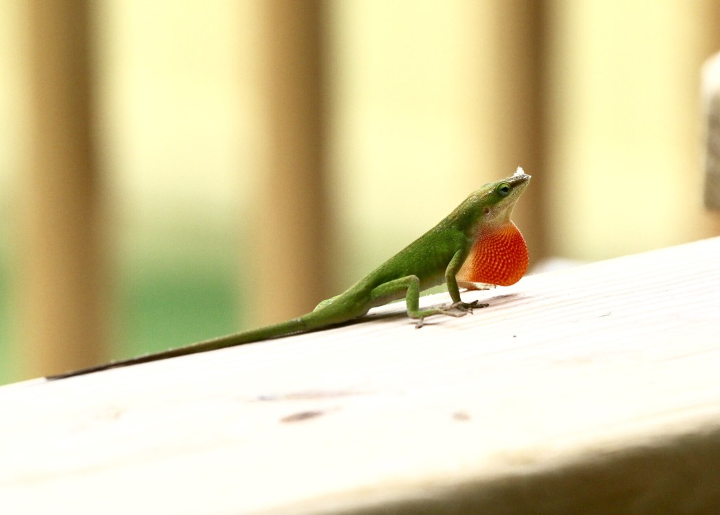 Colorful New Visitor - Green Anole Lizard by jnorthington