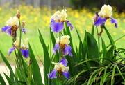 30th Apr 2017 - Bokeh-licious Irises