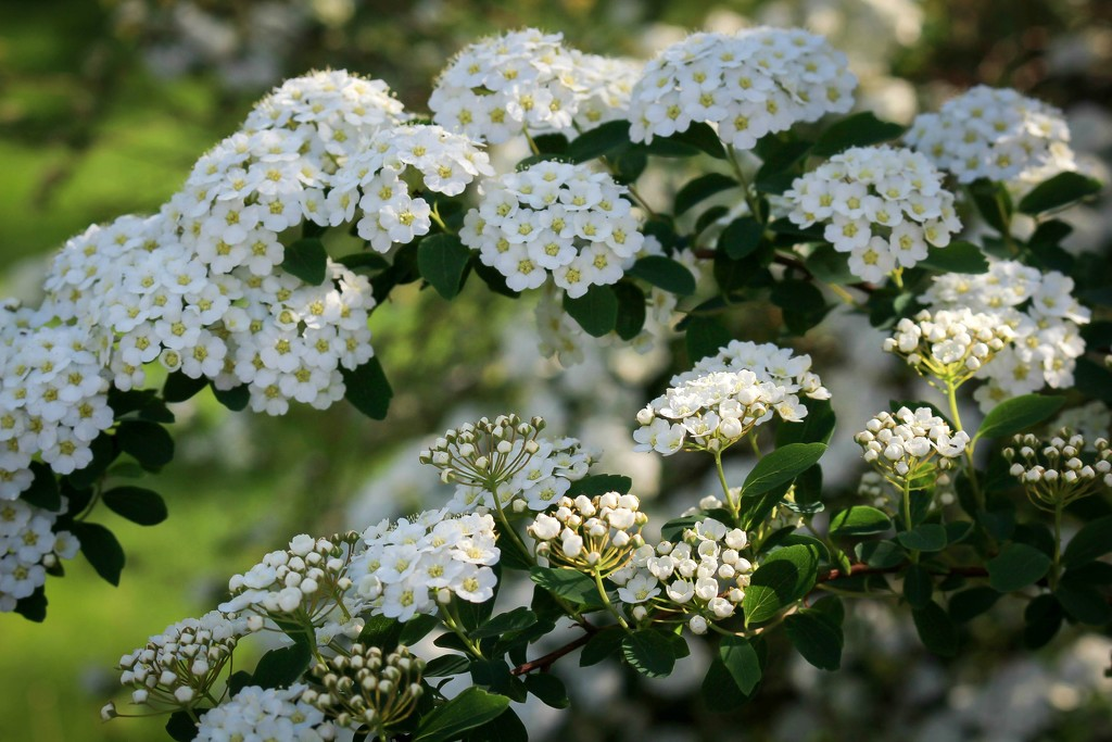 Close up of spirea blossoms by mittens
