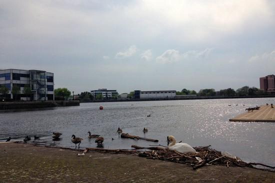 Mummy swan by happypat