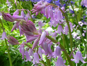27th Apr 2017 - Pink bluebells 2