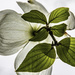 Backside of a Dogwood Blossom by skipt07