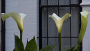 29th Apr 2017 - Three lilies