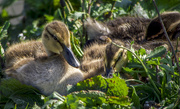 2nd May 2017 - Young Ducklins