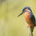 Male Kingfisher really close and content by padlock