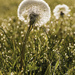 Dandelion and dew by shepherdman
