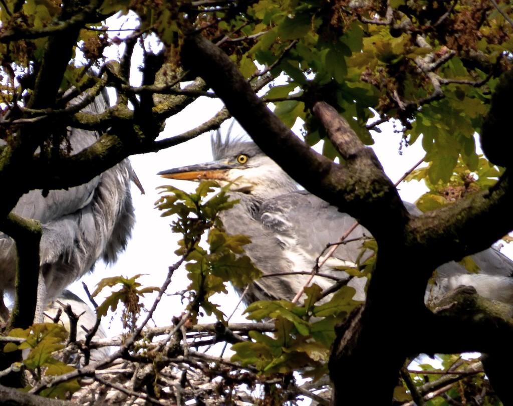 Grey heron chicks  by julienne1
