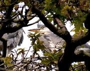2nd May 2017 - Grey heron chicks