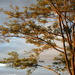 Sun-Kissed Branches by genealogygenie