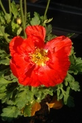 2nd May 2017 - Red poppy