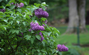 3rd May 2017 - Lilac bush