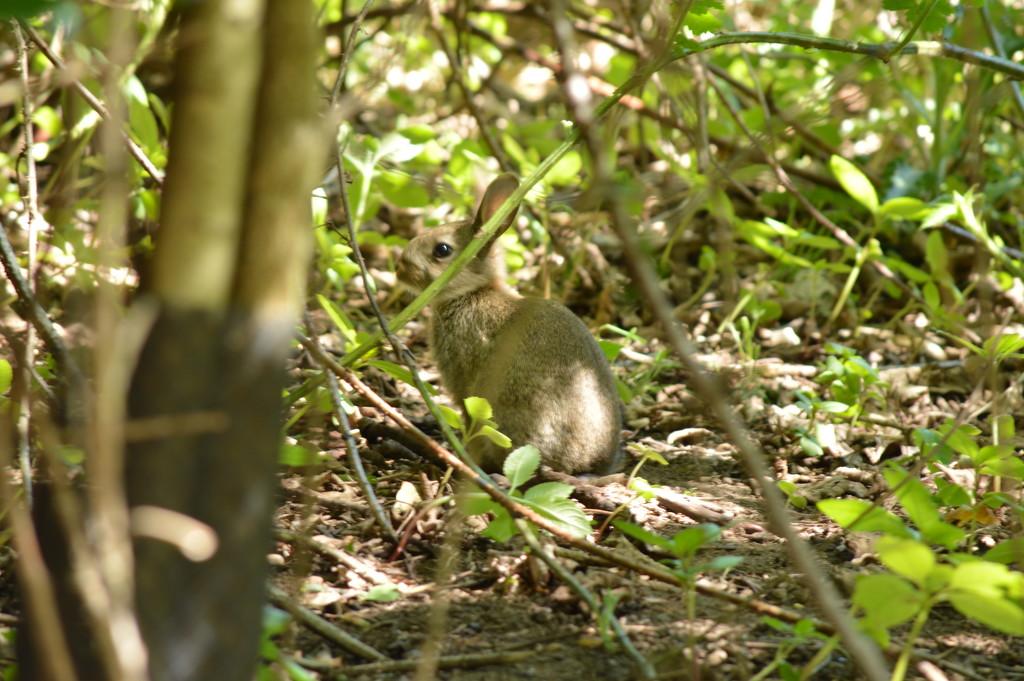 Day 88 - Wild rabbit by gemmabrowne
