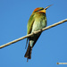 Rainbow Bee Eater by koalagardens