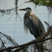 Blue Heron at Eye Level! by rickster549