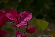 4th May 2017 - BOUGAINVILLE FLOWER