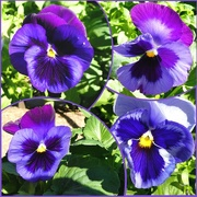 4th May 2017 - Artistic: Purple Pansies