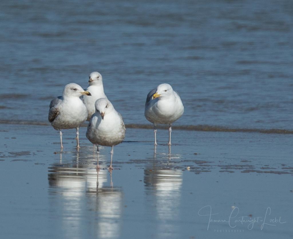 Paddling gulls by mvonsaatz