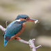 Female Kingfisher -closest yet by padlock