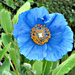 Himalayan Poppy. by wendyfrost