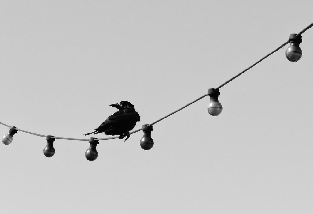 Windswept crow by m2016