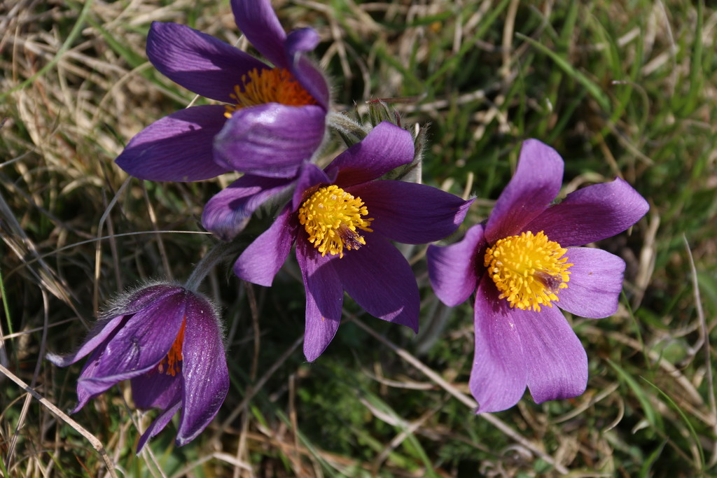 Pasque flowers on Therfield Heath by jennywren