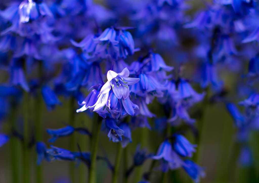 Bluebells by peadar