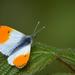 Orange tip  by ilovelenses