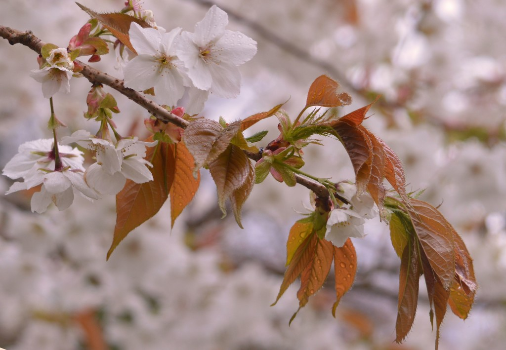 cherry blossom and raindrops by barneyone
