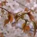cherry blossom and raindrops