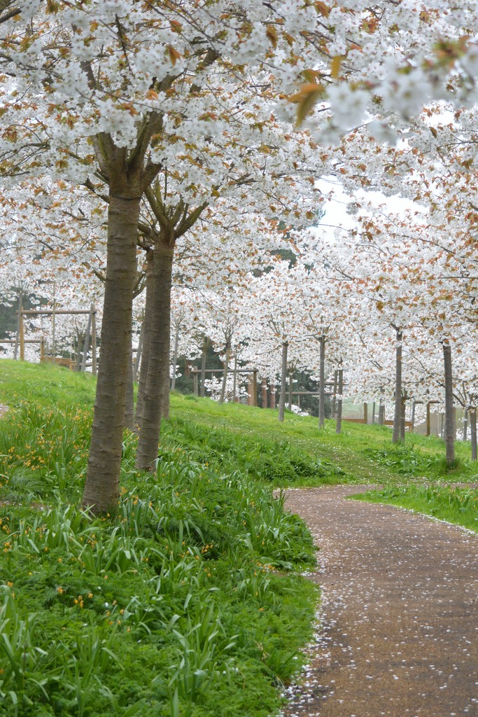 Path through the Cherry Blossom by barneyone