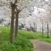 Path through the Cherry Blossom