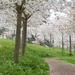 Path through the Cherry Blossom