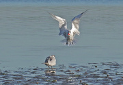 6th May 2017 - Caspian tern feeding young