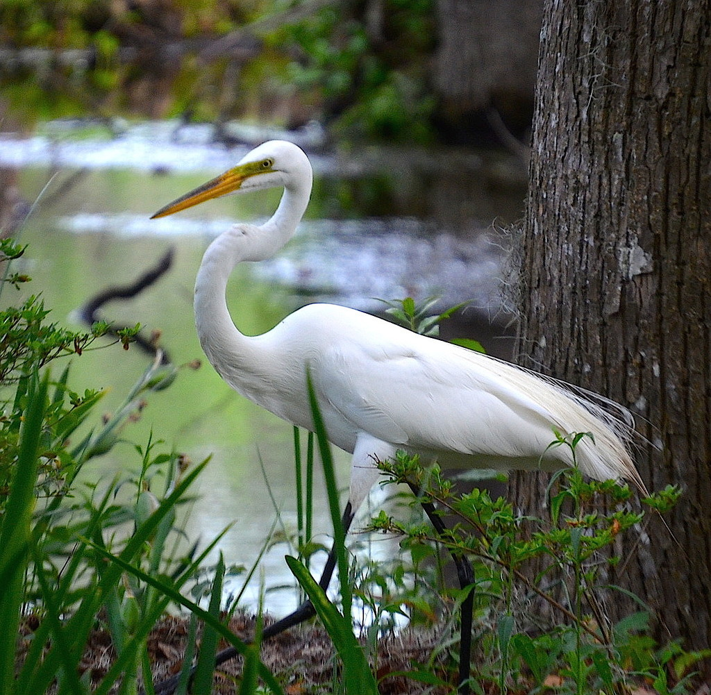 Great white egret by congaree
