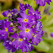 Primula by elisasaeter