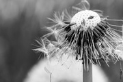 6th May 2017 - Dandelion in BW