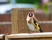 7th May 2017 - Goldfinch